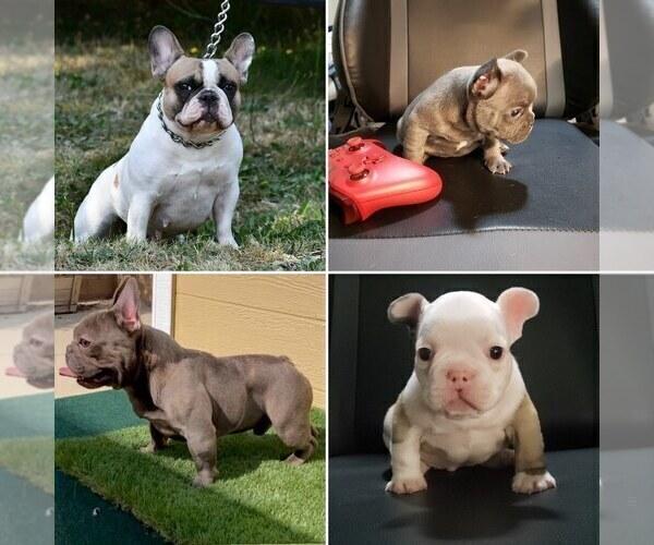 Medium Photo #11 French Bulldog Puppy For Sale in GRAHAM, WA, USA