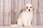 Cavapoo Puppy For Sale in MOUNT VERNON, OH, USA