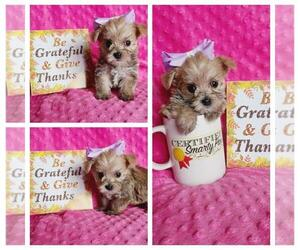Morkie Puppy for sale in TAYLOR, TX, USA