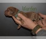 Small #3 Bloodhound