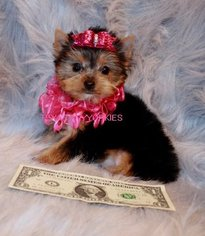 BEAUTIFUL   TEACUP YORKIE