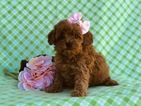 Cavapoo-Poodle (Miniature) Mix Puppy For Sale in EAST EARL, PA, USA