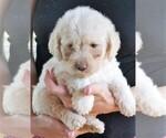 Puppy 3 Lab-Pointer-Poodle (Miniature) Mix