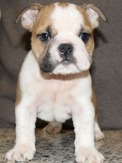 Bulldog Puppy For Sale in LAKEWOOD VILLAGE, TX, USA