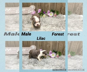 Boston Terrier Puppy for Sale in MYRTLE, Missouri USA
