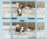 Boston Terrier Puppy For Sale in MYRTLE, MO, USA