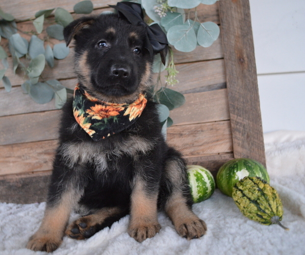 Medium Photo #6 German Shepherd Dog Puppy For Sale in HONEY BROOK, PA, USA