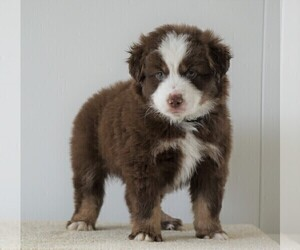 Miniature Australian Shepherd Puppy for sale in FREDERICKSBG, OH, USA