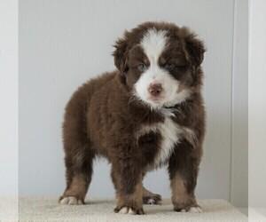 Miniature Australian Shepherd Puppy for sale in FREDERICKSBG, OH, USA