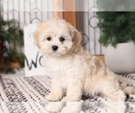 Small #2 Shih-Poo