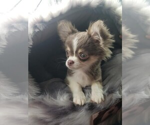 Chihuahua Puppy for sale in GALVESTON, TX, USA