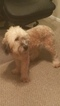 Soft Coated Wheaten Terrier Puppy For Sale in SARASOTA, FL, USA