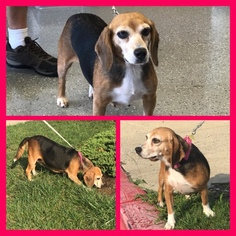 Beagle Dog For Adoption in ELKRIDGE, MD, USA