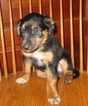 English Shepherd Puppy For Sale in FREDERICKSBURG, PA, USA
