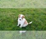 Puppy 2 Cattle Collie Dog