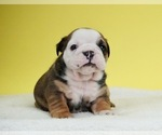 Puppy 15 Bulldog