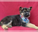 Small Photo #4 German Shepherd Dog Puppy For Sale in NEW PROVIDENCE, PA, USA