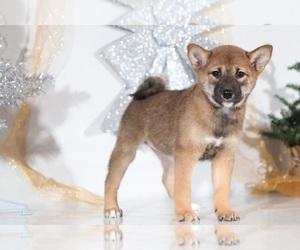 Shiba Inu Dog for Adoption in BEL AIR, Maryland USA