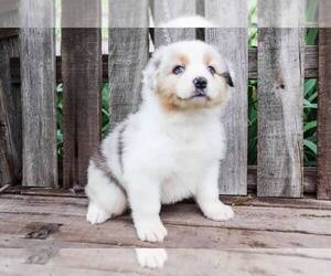 Australian Shepherd Puppy for sale in STEPHENVILLE, TX, USA