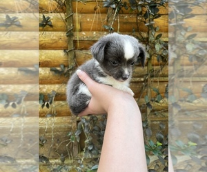 Chihuahua Puppy for sale in PALATKA, FL, USA
