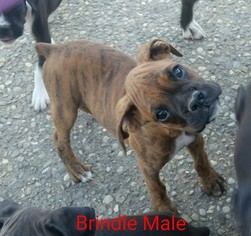 View Ad Boxer Litter Of Puppies For Sale Near Indiana Corydon Usa