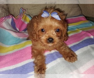 Cavalier King Charles Spaniel Puppy for Sale in KENDALL, Wisconsin USA