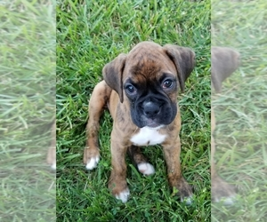Boxer Puppy for Sale in CHILHOWEE, Missouri USA