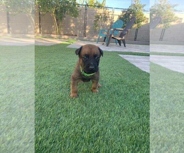 Medium Photo #7 Belgian Malinois Puppy For Sale in CHANDLER, AZ, USA