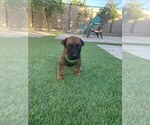 Small Photo #7 Belgian Malinois Puppy For Sale in CHANDLER, AZ, USA