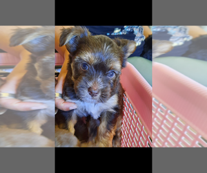 Yorkshire Terrier Puppy for Sale in HARKER HEIGHTS, Texas USA