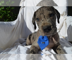 Great Dane Puppy for Sale in COVENTRY, Rhode Island USA