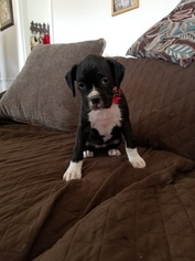 Boxer Puppy For Sale near 76247, Justin, TX, USA