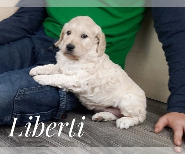 Full screen Photo #5 Goldendoodle Puppy For Sale in CEDAR GAP, MO, USA