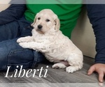 Small Photo #5 Goldendoodle Puppy For Sale in CEDAR GAP, MO, USA