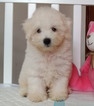 Bichon Frise Puppy For Sale in SAN JOSE, CA, USA