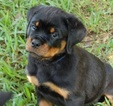Rottweiler Puppy For Sale in TAMPA, Florida,