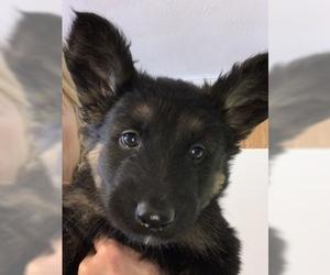 German Shepherd Dog Puppy for sale in W WARWICK, RI, USA