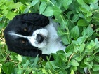 English Springer Spaniel Puppy For Sale in NORMAN, OK, USA