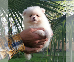 Pomeranian Puppy for sale in PALM BCH GDNS, FL, USA