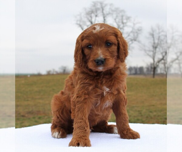 Medium Photo #1 Irish Doodle Puppy For Sale in GREENCASTLE, PA, USA