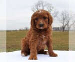 Small Photo #1 Irish Doodle Puppy For Sale in GREENCASTLE, PA, USA