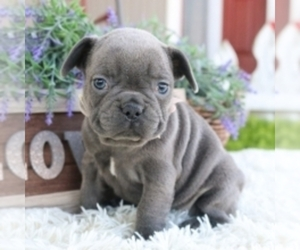 French Bulldog Puppy for sale in SALEM, OR, USA