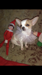 Chihuahua Puppy For Sale in PITTSBURGH, PA
