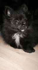Pomeranian Puppy For Sale in PAWTUCKET, RI