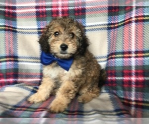 Sheltidoodle Puppy for sale in LANCASTER, PA, USA