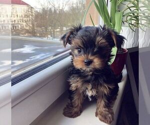 Yorkshire Terrier Puppy for sale in MIDDLEBORO, MA, USA