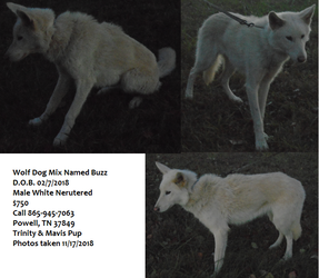 View Ad Wolf Hybrid Puppy For Sale Near Tennessee Powell Usa Adn