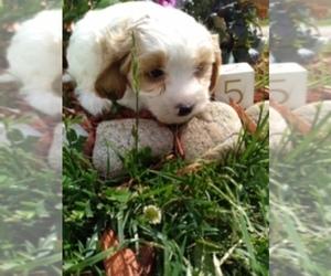 Cavachon Puppy for sale in SCOTTVILLE, MI, USA
