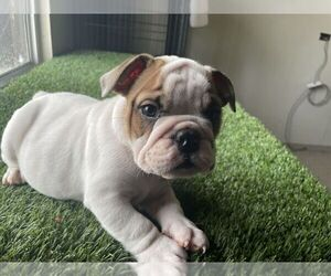 English Bulldog Puppy for sale in SAN DIEGO, CA, USA