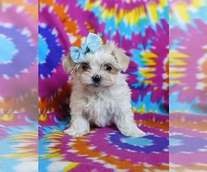 Maltese Puppy for sale in NOTTINGHAM, PA, USA